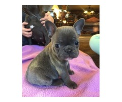 Cute French Bulldg Pups Ready Now