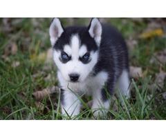 Charming Blue Eyes Husky Puppies