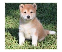 Amazing Shiba Inu Pups With Good Temperament Available