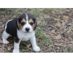 Beagle Pups Needing Good Pet Loving Family