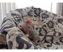 Hairless Don Sphynx kittens champion sired