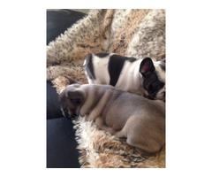 i have 2 French Bulldog for adoption