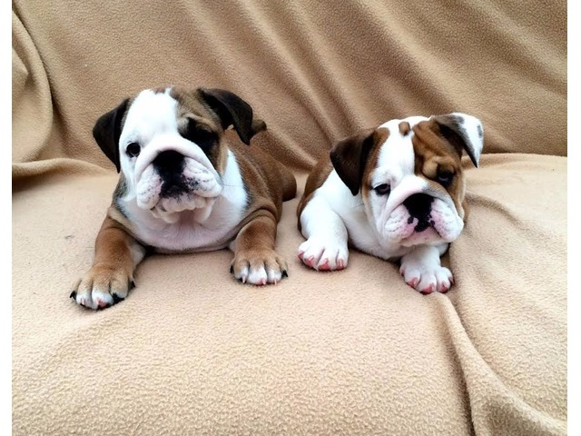 english bulldog rescue va english bulldog puppies for adoption animals 9056