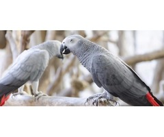 A Pair of Talking African Grey Parrots for adoption
