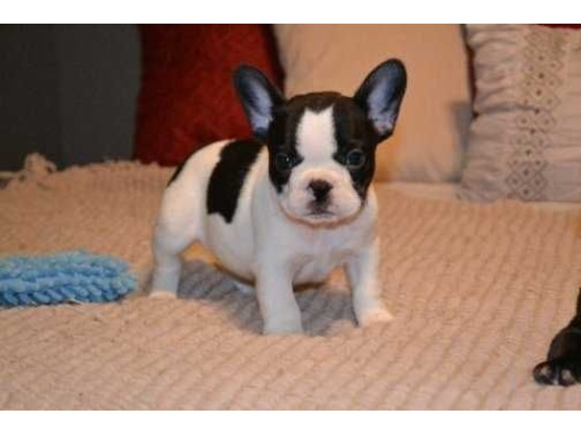 Lovely Baby French Bulldog Puppies Available For Sale Animals