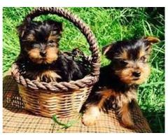 We got Yorkie s pups that love being around small children