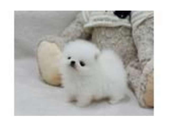 Desirable Pomeranian puppies | free-classifieds-usa.com