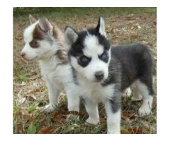 Ready Siberian Husky  Puppies