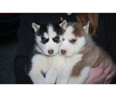 Male and female Siberian Husky pups,