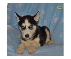 Male and female Siberian Husky pups