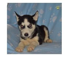 Male and female Siberian Husky pups | free-classifieds-usa.com