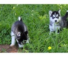 1Baby AKC registered Siberian Husky pups for sale..