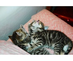 ncridible Bengal Kittens for adoption