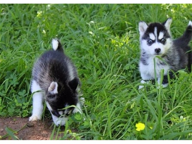 1Baby AKC registered Siberian Husky pups for sale.. | free-classifieds-usa.com