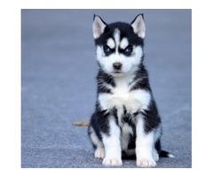 Baby AKC registered Siberian Husky pups for sale