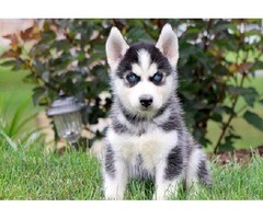 sweet Baby AKC registered Siberian Husky pups for sale