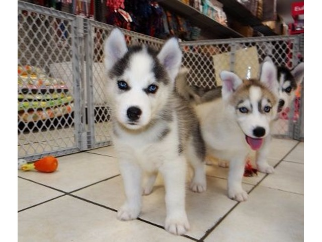 Outgoing Akc Registered Siberian Husky Pups For Sale Animals