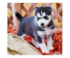 pampered AKC registered Siberian Husky pups for sale
