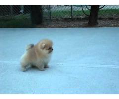 Cute Pomeranian Puppies for addoption