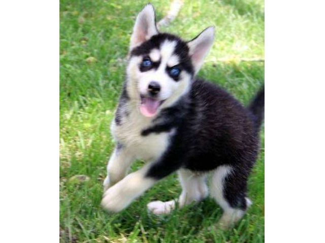 Cute Siberian Husky Puppies For Free