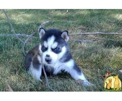 Sweet Siberian Husky