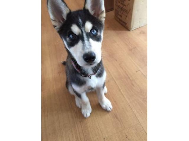 Husky Puppies For Adoption Animals Nashville Tennessee