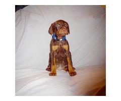 Purebred European Doberman Pinscher Pups With Champion Bloodlines
