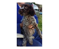 Korthals Griffon Pups For Sale