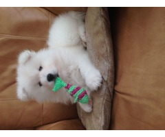 Stunning Pedigree Samoyed Puppies