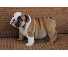 encouraging English Bulldog Puppies For Sale