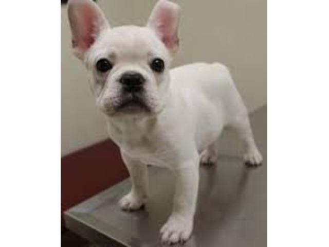 Cute Gorgeous French Bulldog Puppies Animals Alexis Illinois