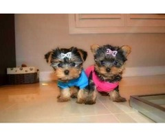 Yorkshire Terrier Puppies READY