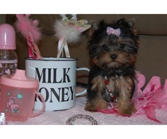 Yorkshire Terrier Yorkies. Simply beautiful