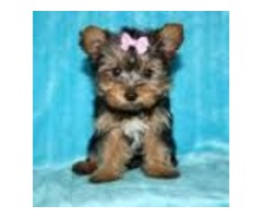 NICE Yorkshire Terrier Puppies
