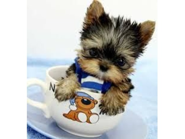 Available Yorkie Puppies For Your Family Now - Animals - Anniston
