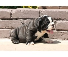 reasonable English Bulldog Puppies For Sale