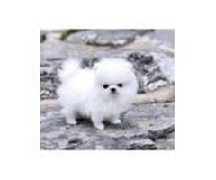 2 Lovely pomeranian puppies available
