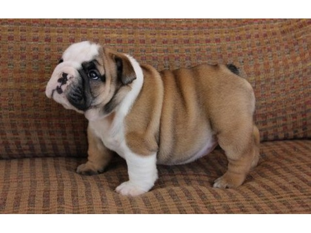 reliable English Bulldog Puppies For Sale - Animals