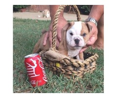 respectable English Bulldog Puppies For Sale