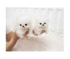 Both males and females puppies registered Pomeranian puppies