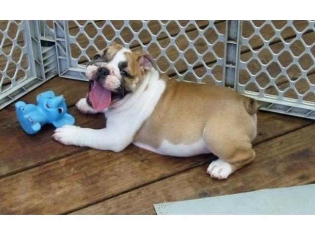 Smart English Bulldog Puppies For Sale Animals Boston