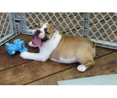 smart English Bulldog Puppies For Sale