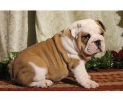 wonderful  English Bulldog Puppies For Sale