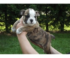 joyful English Bulldog Puppies For Sale