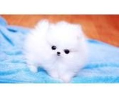 Darling teacup triple coat white teacup Pom available