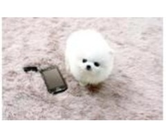 Excellent Pomeranian Pups ready for new homes