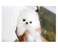Clean Pomeranian Pups ready for new homes