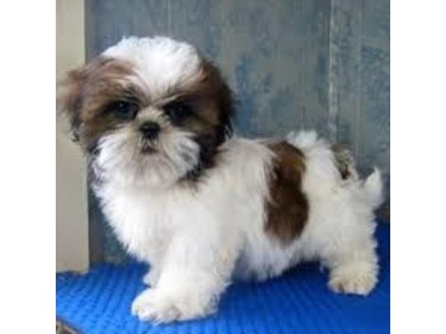 Shih Tzu Puppies For Sale Animals Harrison Arkansas