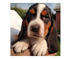 Nice and Healthy Basset Hound Puppies Available