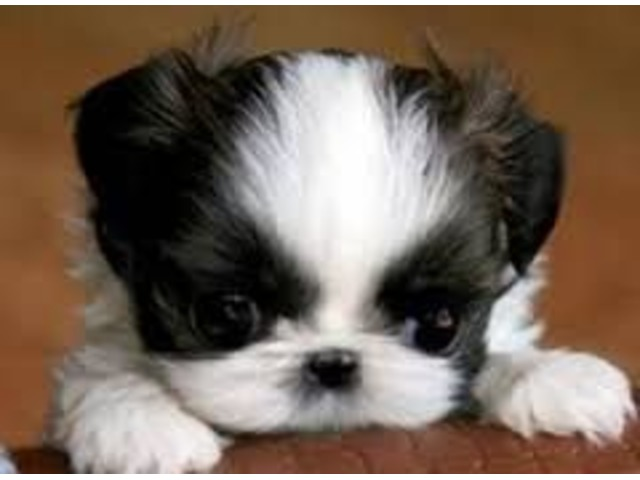 Cute Shih Tzu Puppies Available Now For Sale Animals Houston